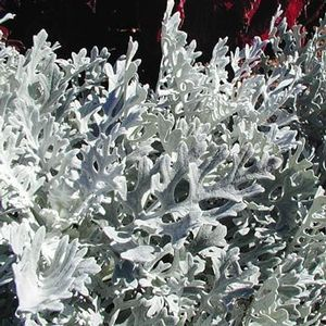 Dusty Miller 'Silver Dust'