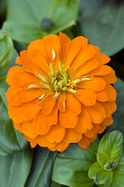 Zinnia Magellan Orange