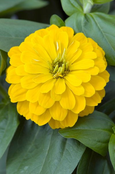 Zinnia Magellan Yellow