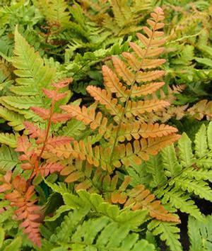 Fern Autumn Fern