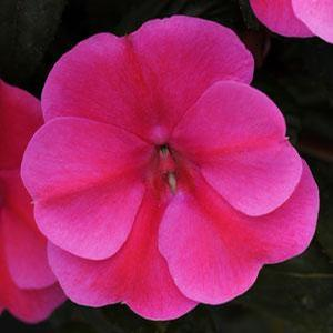 Impatiens Bounce Pink Flame