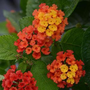 Lantana Bloomify Red