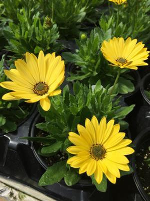 Osteospermum Margarita Yellow