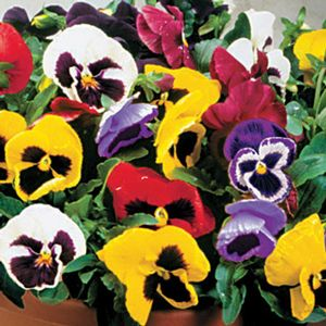Pansy Giant Face - mix