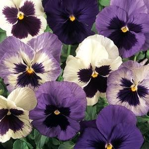 Pansy Ocean Breeze
