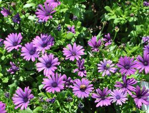 Osteospermum Margarita Cool Purple