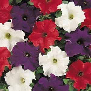 Petunia Patriot Mix