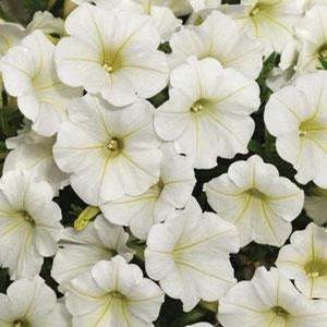 Petunia Shockwave Coconut