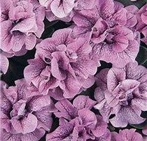Petunia Double Wave Blue Vein