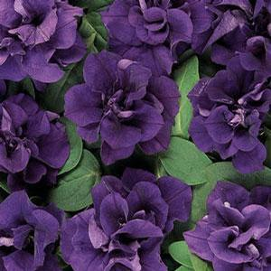 Petunia Double Wave Blue Velvet
