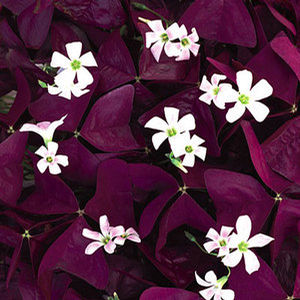 Oxalis 'Charmed Wine' white