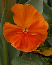 Pansy Pure Orange