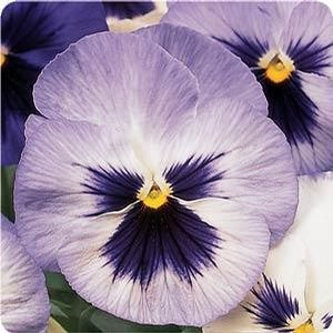 Pansy Blue Frost