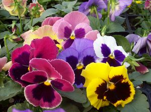 Pansy Coastal Sunrise