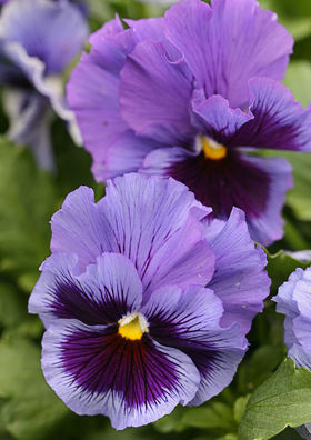 Pansy Frizzle Sizzle Blue Swirl