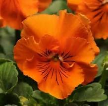 Pansy Frizzle Sizzle Orange