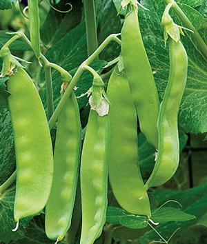 Peas Oregon Sugar Pod