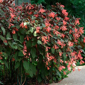 Fuchsia Gartenmeister - orange upright