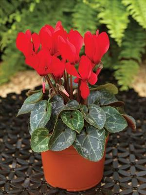 Cyclamen Mini Scarlet