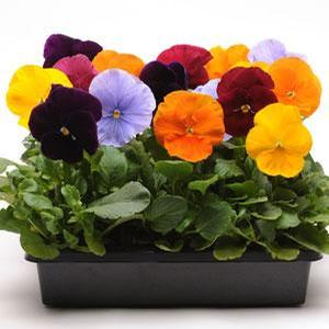Pansy Jewels Mix