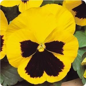 Pansy Blotch Yellow