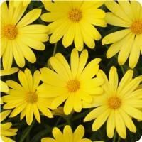 Osteospermum Voltage