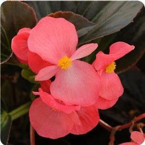 Begonia Whopper Rose Bronze Leaf