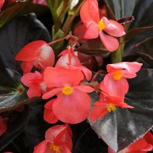 Begonia Whopper Red Bronze Leaf