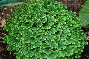 Selaginella Snow Tips