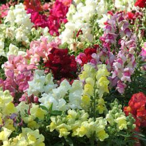 Snapdragon Snapshot Autumn Mix