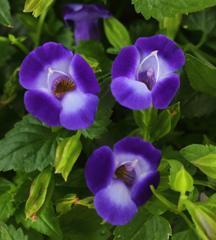 Torenia Summer Wave Bouquet Deep Blue