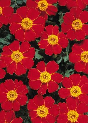 Marigold Disco Red