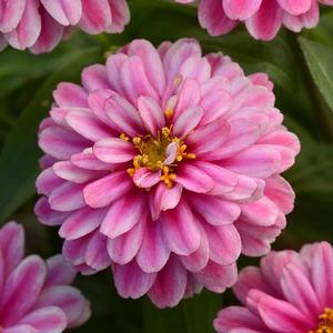 Zinnia Zahara Double Raspberry Ripple