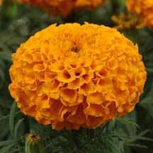 Marigold Taishan Orange