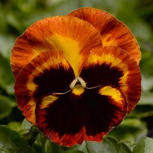 Pansy Solar Flare