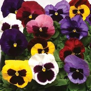 Pansy Blotch Mix