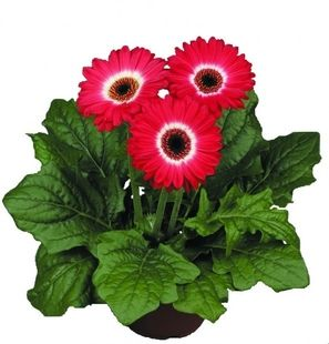 Gerbera Eyecatcher Red