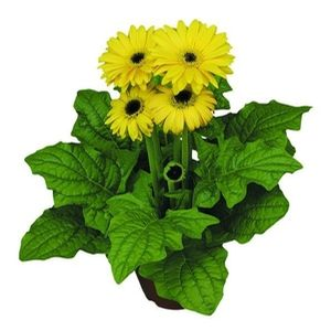 Gerbera Yellow Dark Eye