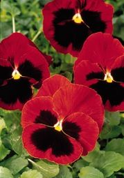 Pansy Blotch Red