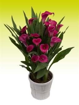 Calla Lily Royal Princess