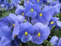 Pansy Pure Blue