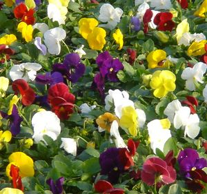 Pansy Pure Mix