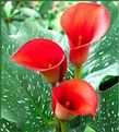 Calla Lily Red Alert - red