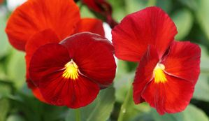 Pansy Pure Red