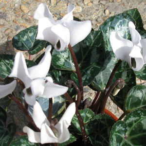 Cyclamen Mini White