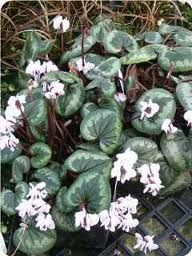 Cyclamen Silver Leaf White