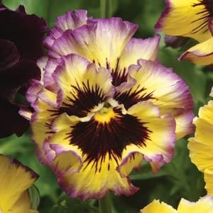 Pansy Fizzy Lemonberry