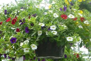 Basket Sun Calibrachoa MiniFamous Old Glory