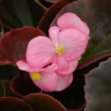 Begonia Bronze Leaf Rose