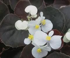 Begonia Bronze Leaf White